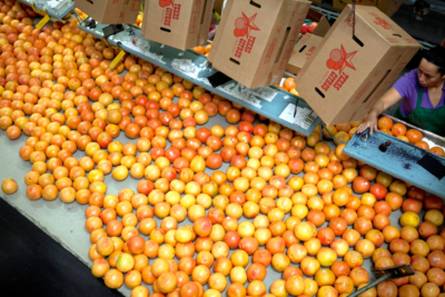 Rio Grande Valley packing houses sort, clean and grade citrus fruit to prepare it for packing and shipping. (Courtesy)