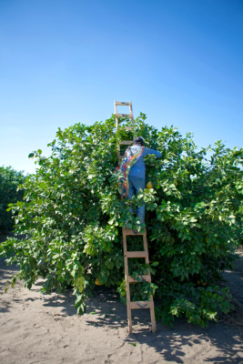 A worker picks fruit in a Valley citrus orchard. (Courtesy)