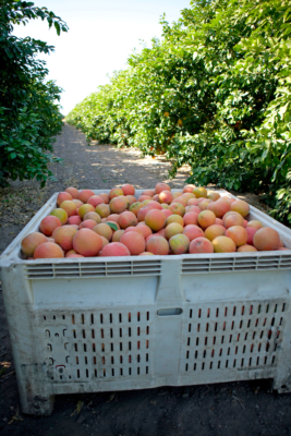 The grapefruit harvest began in August this year, a month earlier than usual. (Courtesy)