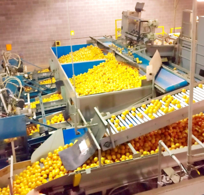 Valley oranges are sorted and graded at Lone Star Citrus. (Courtesy)