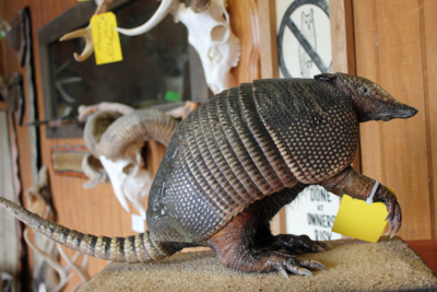 A Texas nine-banded armadillo a client brought to Rene Escamilla's taxidermy shop after he found it on the road. (VBR)
