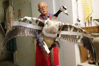 Taxidermist Rene Escamilla works on a Canada goose. (VBR)