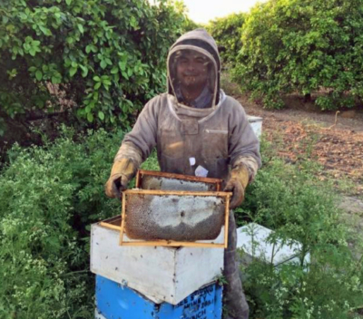 Placing bee hives in a citrus orchard for pollination.