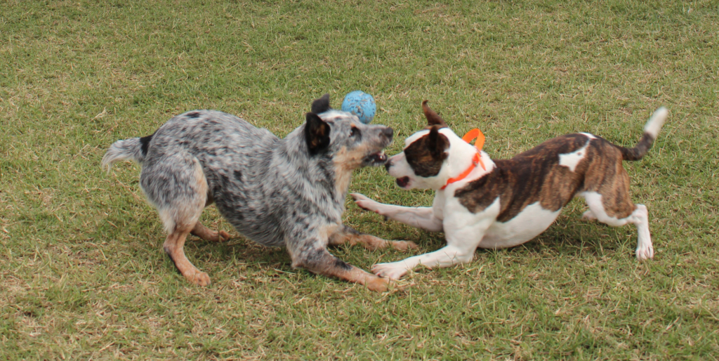 Two dogs tussle over a ball at the RGV K9 Training Centre daycare. (VBR)