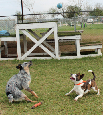 Two dogs keep their eye on the ball after it was bounced by an RGV K9 Training Centre staff member. (VBR)