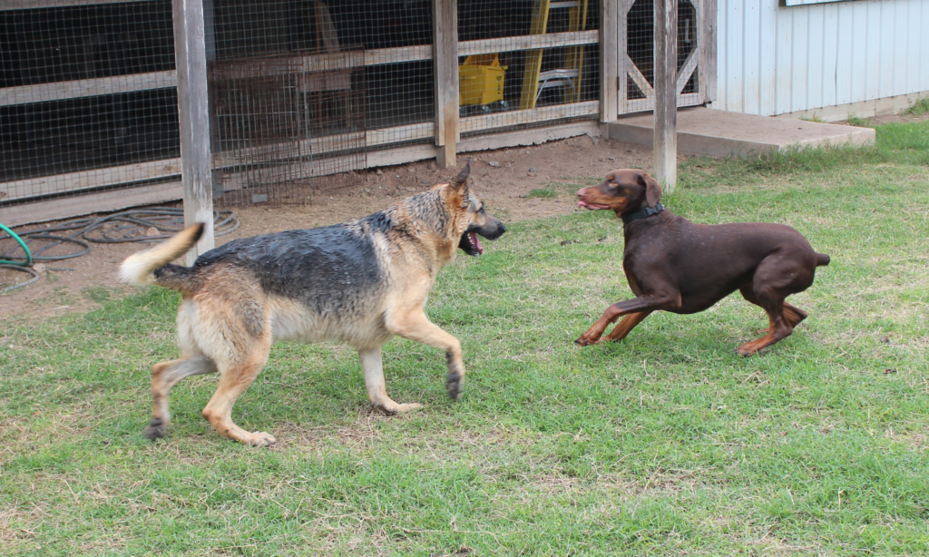 Playtime is an important part of dog socialization at Paws and Claws Pet Resort. (VBR)