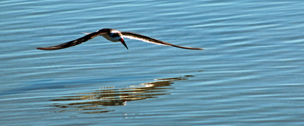 A black skimmer glides across the water of the Laguna Madre is search of food. (VBR)