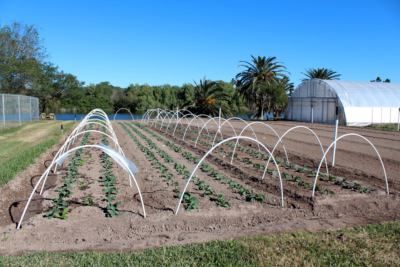 Young broccoli and lettuce plants will later be harvested for sale by Acacia Farms. (VBR)