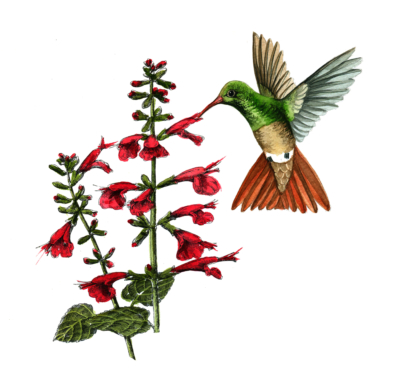 A buff-bellied hummingbird is shown feeding on a red sage plant is one of many paintings depicting native birds and plants. (Don Breeden)