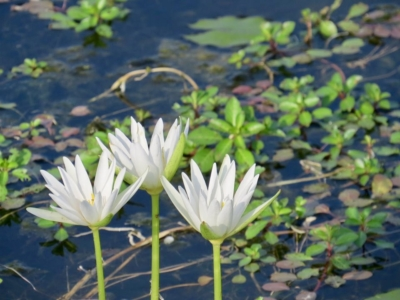 Water lillies in Ibis Pond