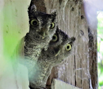 Screech owls poke their heads out at Estero Llano Grande State Park