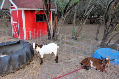 Kids and adults alike can enjoy petting baby goats, bunnies, and even a piglet in their mini farm. (VBR)