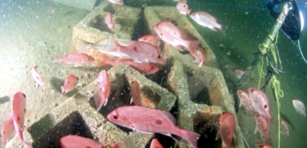 Red snapper swimming in the artificial reef. (Courtesy)