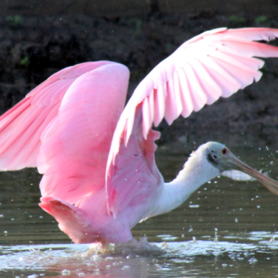 A roseate spoonbill shows its beauty as it wades through waters.