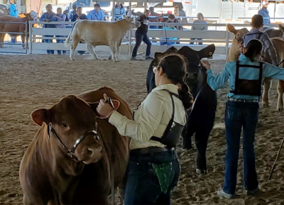 Students from throughout the Rio Grande Valley compete in live exhibits at the Livestock Show in Mercedes. (Courtesy RGV LIvestock Show)