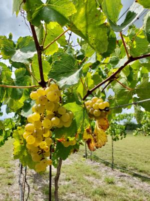 Grapes at the Bonita Flats farm.