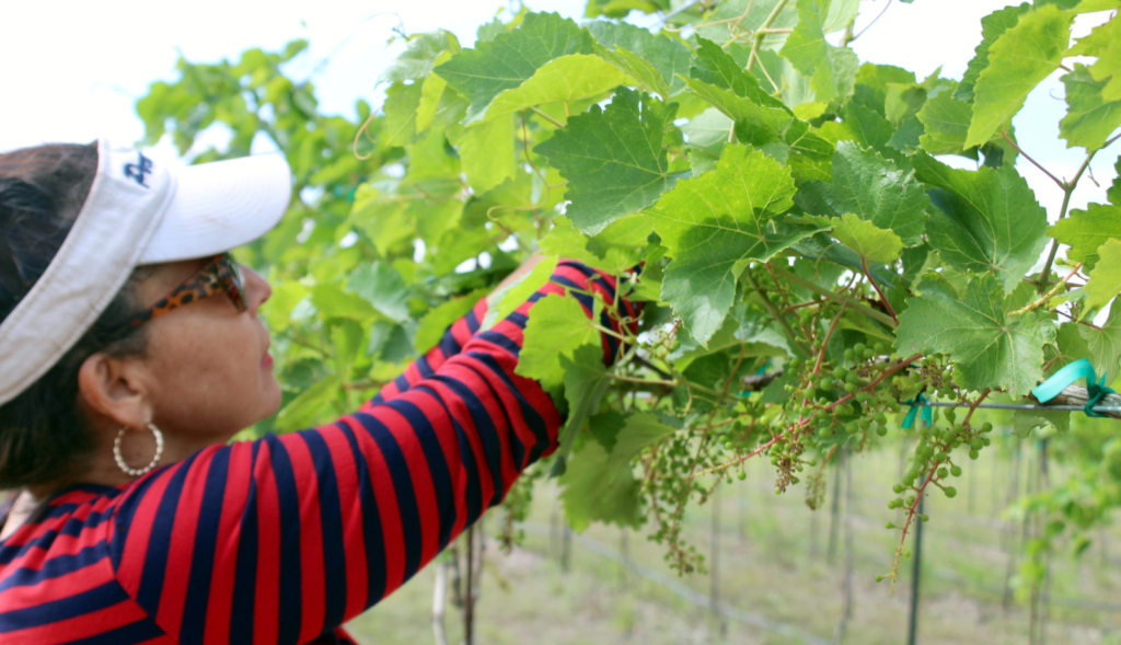 Melissa Delgado tends to grapes at her Los Fresnos-area farm.
